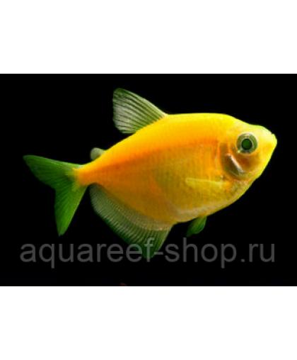 Тернеция Glo оранжевая 2-2,5 см*