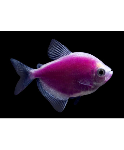 Тернеция GLO фиолетовая 2-2,5 см*